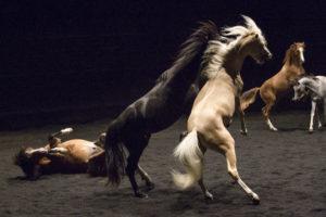 Les chevaux du cirque Zingaro sont des acteurs ici pour Ex Anima mis en scène par Bartabas