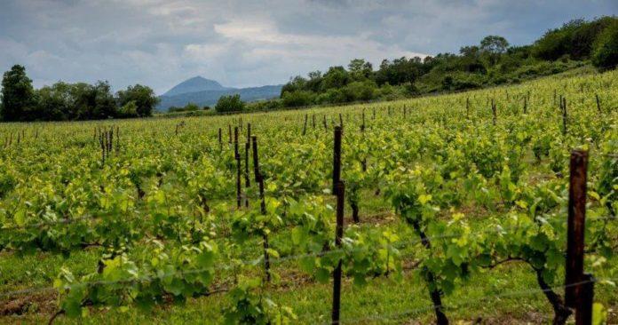 vignes de Châteaugay au pied du volcan du Puy-de-Dôme (Auvergne)